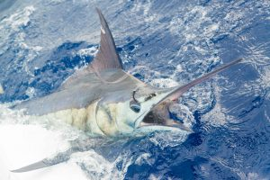 Billfish release competition